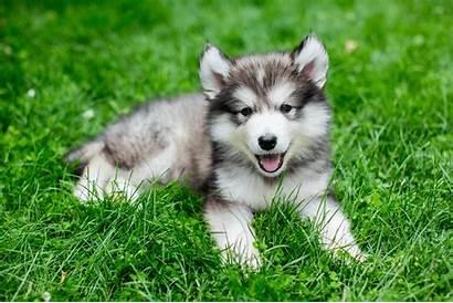 Husky Miniature Breed Dog Breeds Temperament Standard