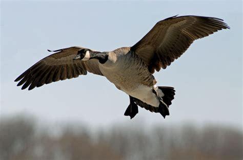 Duck Hunting Wallpaper Iphone Goose Hunting Wallpaper Wallpapersafari