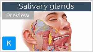 Salivary Glands  Structure And Functions  Preview