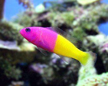 pink saltwater fish bicolor dottyback saltwater