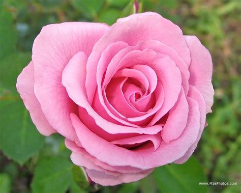 Rose Pink Wallpaper Wallpapersafari