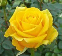 Gelbe Rose Bedeutung : valentinstag blumen sorgf ltig ausw hlen aber wie ~ Whattoseeinmadrid.com Haus und Dekorationen