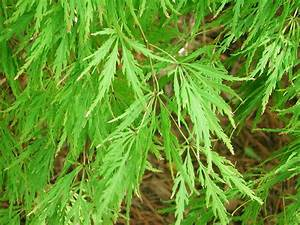 Image Gallery japanese maple tree identification