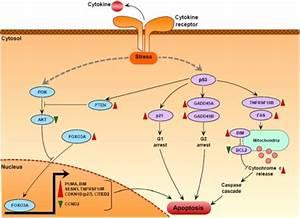 Putative Cytokine Deprivation Mediated Apoptosis Signal