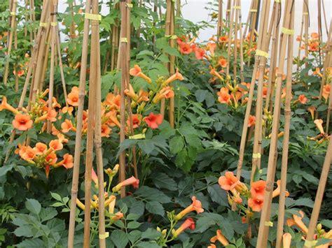 indian summer pflanze trompetenblume indian summer csis radicans indian summer g 252 nstig kaufen