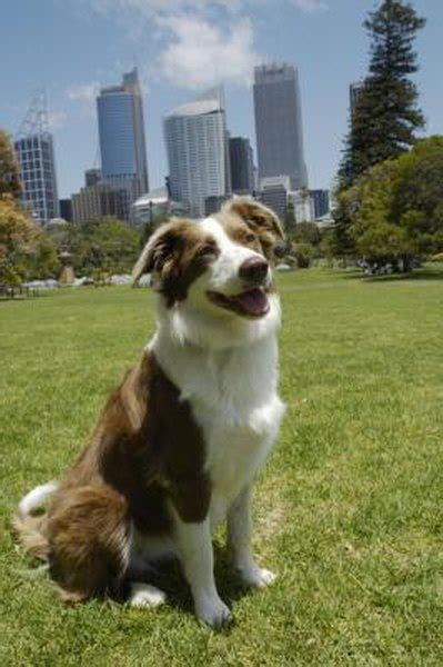 summer grooming   border collie pets