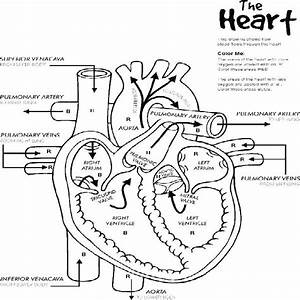 Circulatory System Worksheet High School