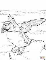 Coloring Puffin Pages Atlantic Puffins Printable Drawing Fun Categories sketch template