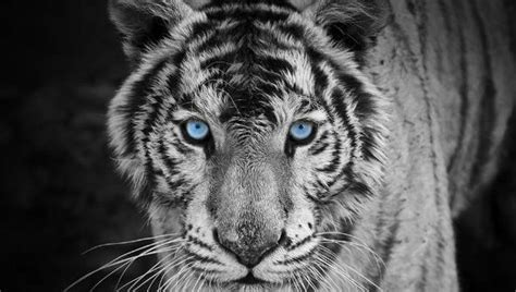White Tiger Animals With Unusual Color Mutations