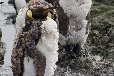 ruffled feathers the scraggly life of molting birds the