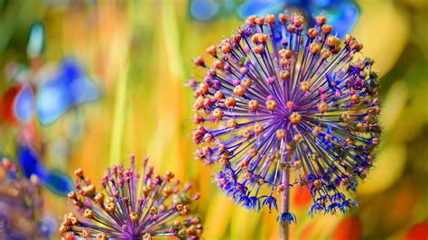 wallpaper allium carinatum hd  photography