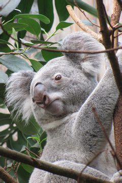 animals  eat eucalyptus leaves animals momme