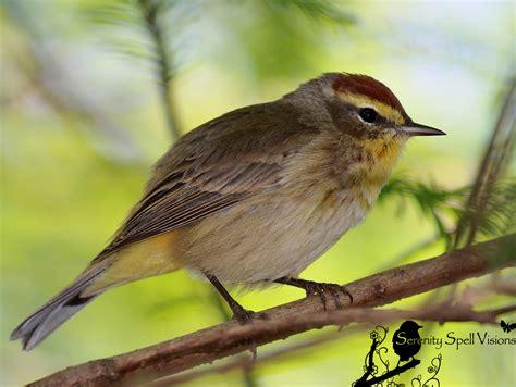 Small Birds of Florida Warbler