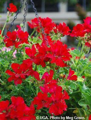 pelargonium peltatum caliente deep red ivy geranium