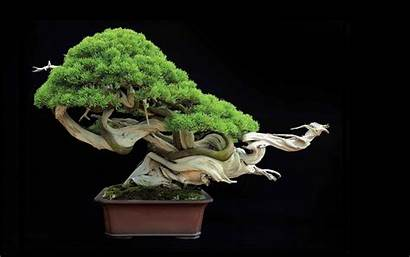 Bonsai Tree Trees Nature Wallpapers Plants Backgrounds