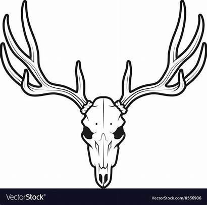 Skull Deer Tail Buck Drawing Skulls Vectorstock