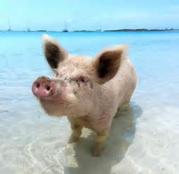 Exuma Swimming Pigs Bahamas