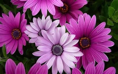 Desktop Flowers Flower Wallpapers Cape Backgrounds Marigold