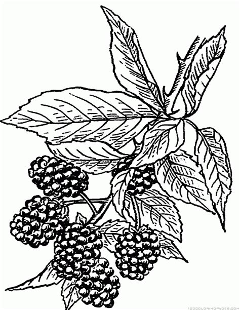 blackberry drawing    clipartmag