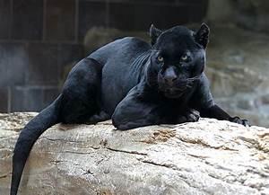 Black panther -... Black Panther