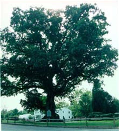 Maryland State Tree  White Oak