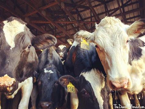 My entourage > Your entourage. #farmlove #cowsofinstagram ...