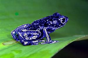 Purple Poisonous Frogs | www.pixshark.com - Images ...