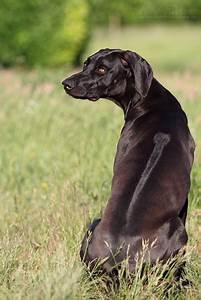 Rhodesian ridgeback, Weimaraner and Dogs on Pinterest