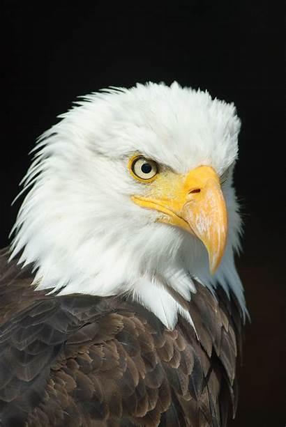 Eagle American Desktop Wallpapers 4k Yodobi Resolution