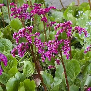 Plantes Et Jardin : bergenia abendglut plantes et jardins ~ Melissatoandfro.com Idées de Décoration