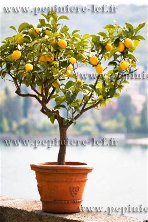 citronnier 4 saisons en pot citronnier 4 saisons citrus limon ppinire lcf