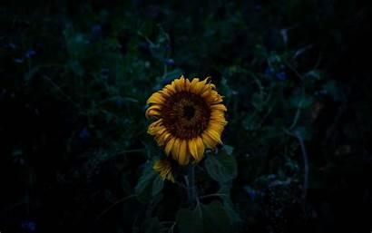 Sunflower Field Yellow Blooms 4k Dark Background