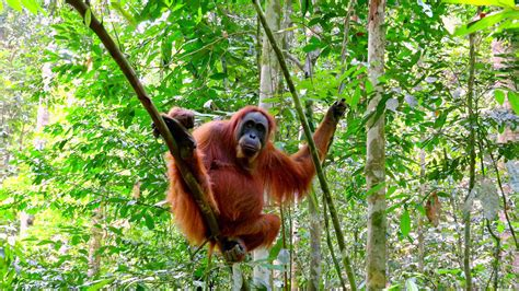 tropical wild templat zooming video of orangutan female in tropical rainforest