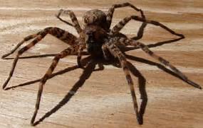 Dolomedes tenebrosus spider