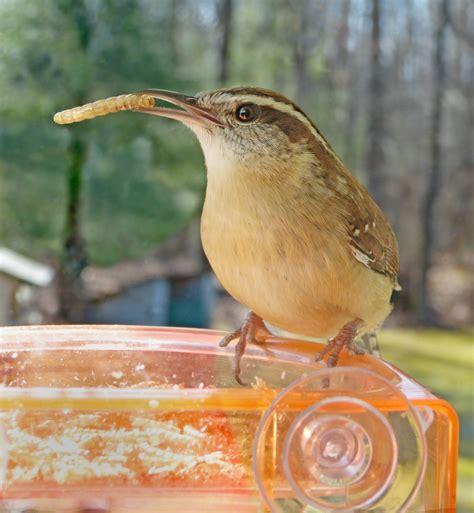 carolina wren finds mealworms feederwatch