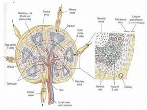 Anatomy of lymph node