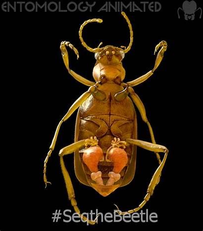 Bombardier Beetles Keller Eric Copyright Credit Arthropod