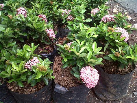 jual tanaman bunga soka pink tanamtanam tokopedia