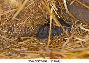 Ratte Im Haus : schwarze ratte dach ratte haus ratte schiff ratte ratten hausratte haus ratte ratten ~ Buech-reservation.com Haus und Dekorationen