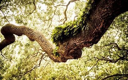 Tree Oak Wallpapers Desktop Wonderful