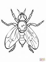 Fly Coloring Pages Fruit Firefly Insect Flies Printable Drawing Guy Supercoloring Fireflies Animals Getdrawings Super Spider Am Insects Clipart Awesome sketch template