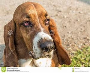 Face Shot Of A Basset Hound Stock Photo - Image: 44444493