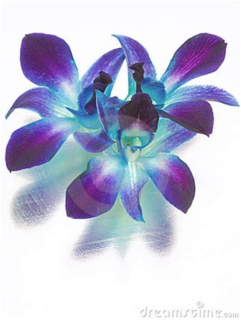 blue  purple orchids royalty  stock images image