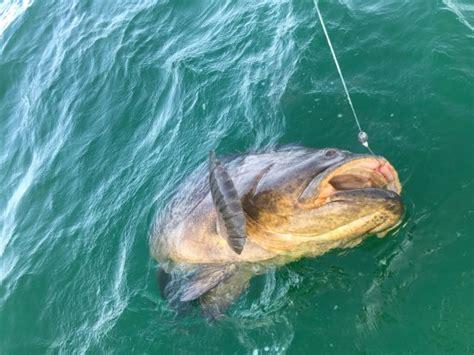 grouper goliath fishing charters naples haven eco ms florida tripadvisor charter
