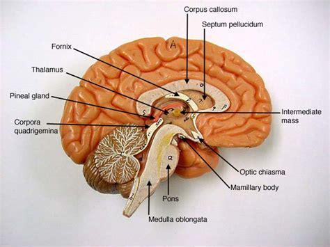 Label Brain Diagram by Brain Diagrams To Label