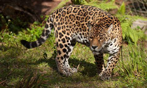 ¿se Drogan Los Jaguares Con Ayahuasca?