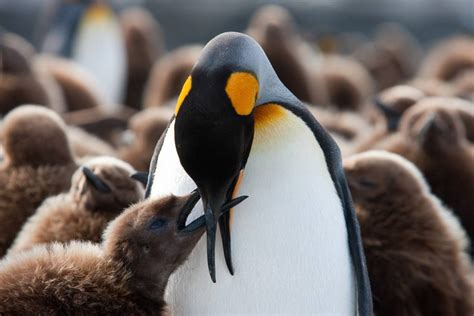 Chick Emperor King Penguin