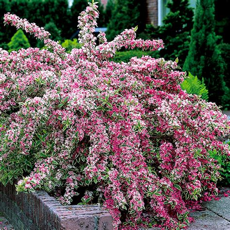 weigela shrubs variegated weigela weigela stark bro s