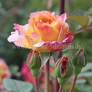 Rosen Düngen Im Frühjahr : sch ne westerw lderin rosen online kaufen im rosenhof schultheis rosen online kaufen im ~ Orissabook.com Haus und Dekorationen