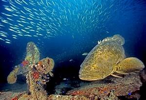 Goliath Grouper - Life of Sea